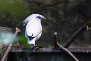 week in wildlife: Bali Mynah
