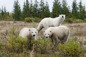 Week in wildlife : Handout photo of Polar bears south of Churchill