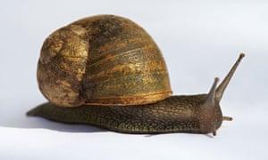 Helix pomatia, an edible snail