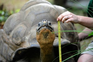 London Zoo audit: A Galapagos giant tortoise is measured