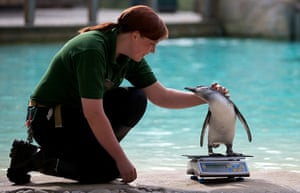 London Zoo audit: A zookeeper strokes a penguin on a scale