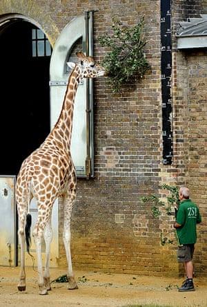 London Zoo audit: A giraffe is measured