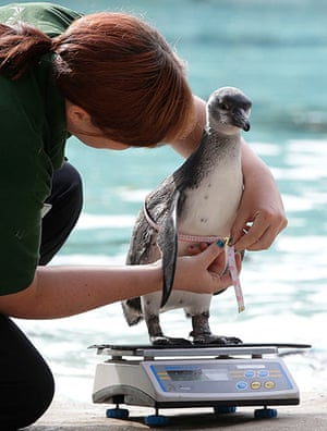 London Zoo audit: A Humboldt penguin is weighed and measured