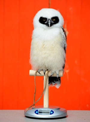 London Zoo audit: Elton, a spectacled owl, sits on a scale