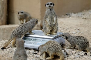 London Zoo audit: Meerkats stand on a weighing machine