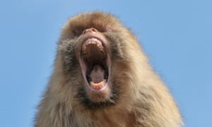 A Barbary macaque at the zoo in Erfurt, eastern Germany on August 8, 2012.
