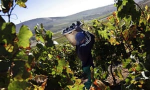 Wine harvesting in the Cape