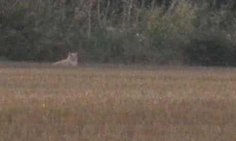 Lion sighting in Essex in a field behind Gill and Steve Atkin's caravan at Earl Drive Farm