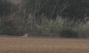 "Gill and Steve Atkin's photograph of the ""lion"" in a field behind their caravan at Earls Hall Farm"