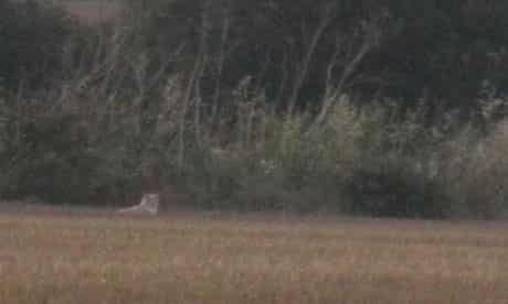"""Gill and Steve Atkin's photograph of the """"lion"""" in a field behind their caravan at Earls Hall Farm"""