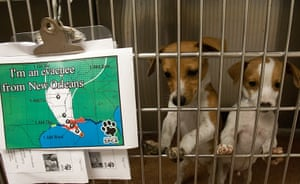 Tropical storm Isaac: Chihuahua puppies in kennel at the Houston SPCA