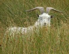 Cuthbert yetholm Pennine way Scotland feral goats