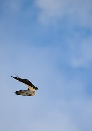 Wildlife Olympics: Peregrine falcon diving against blue cloudy sky