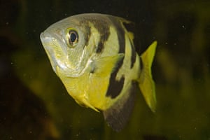 Wildlife Olympics: Smallscale archerfish (Toxotes microlepis)