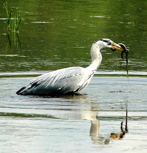 Your Pictures: Getaways: An eeel in a heron's mouth