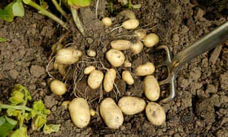Orla organic English new potatoes being lifted
