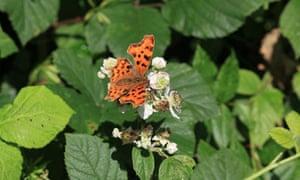 A comma orange butterfly