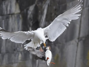 And Herring gull and puffin by Amanda Hayes is the winner in the Wildlife Behaviour category.