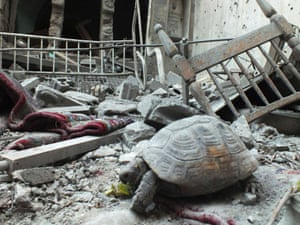 The slightly strange sight of an abandoned pet tortoise walking in the debris of a damaged house in the neighbourhood of old Homs, Syria.
