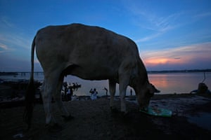 24 hours: Allahabad, India: A cow stands on the banks of the river Ganges