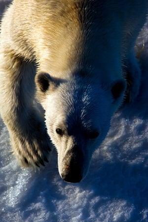 The Cold Edge: Nanuk: Polar Bear, Ursus Maritimus