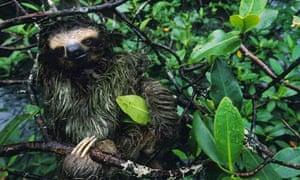 A three toed pygmy sloth in a mangrove tree