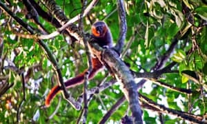 A new species of Callicebus monkey discovered in Brazil in 2010