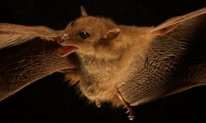 This species of blossom bat was discovered in the Foja Mountains of Papua New Guinea in 2010