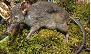 A new species of rat, Paucidentomys vermidax, discovered in Sulawesi