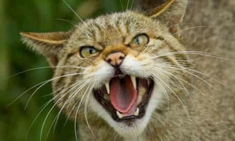 Scottish Wildcat Felis silvestris snarling Scotland