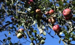 Apples in Glastonbury