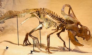 The dinosaur Protoceratops with a large crest on the back of its head