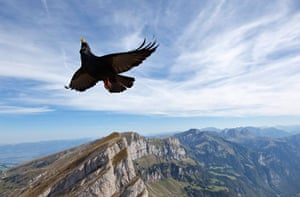 24 hours in pictures: A Pyrrhocorax graculus flies above Wildhaus in the Grisons, Switzerland