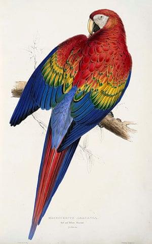 Edward Lear: Macrocercus Aracanga or Red and Yellow Macaw by Edward Lear