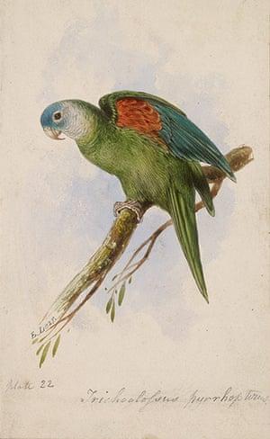 Edward Lear: Orange-winged Lorikeet by Edward Lear