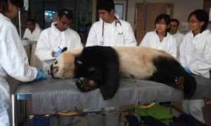 Veterinarians conduct a health check on Jia Jia one of two Giant Pandas from Chengdu, China, who are residing at the Singapore River Safari for the next 10-years. The Pandas are still undergoing a month-long quarantine before members of the public will get to meet them at their enclosure.