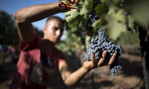 An Israeli Arab farmer harvests cabernet sauvignon grapes for the Bazelet Hagolan Winery at Kidmat Tzvi in the Israeli-annexed Golan Heights. Bazelet Hagolan, which produces about 75,000 bottles annually, is one of some 300 mainly Israeli kosher wineries which are currently at the height of their harvest season.