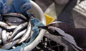 A hungry African penguin eyes up a container of sardines as staff at a conservation centre feed a group of penguins that were recently found covered in oil on Robben Island, Cape Town. Two hundred penguins were found covered in oil following a spillage by a stricken bulk carrier and are being rehabilitated.