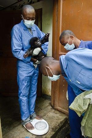 Baby gorillas, DRC: A baby gorilla is weighed