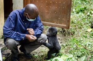Baby gorillas, DRC: A baby gorilla standing next to a caretaker