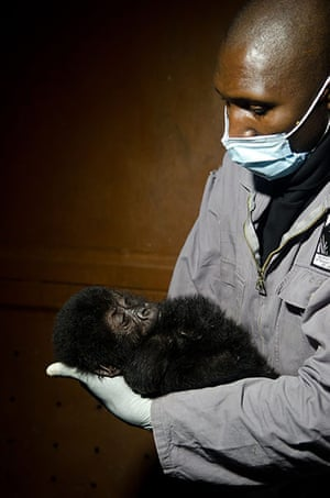 Baby gorillas, DRC: A baby gorilla resting in the arms of a caretaker