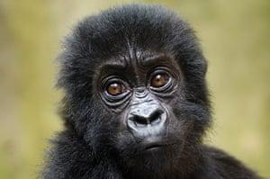 Baby gorillas, DRC: A baby Grauer's gorilla
