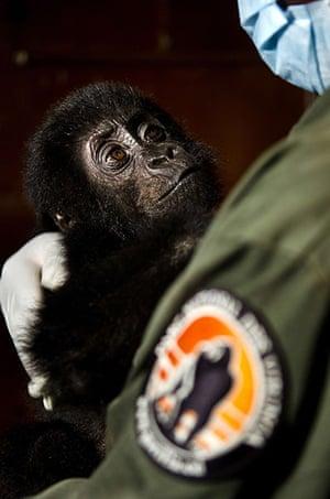 Baby gorillas, DRC: A baby gorilla looking at a caretaker
