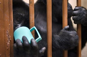 Baby gorillas, DRC: An orphaned mountain gorilla drinking from a cup
