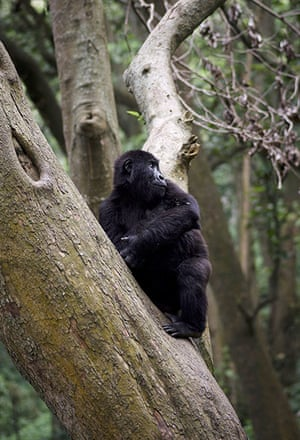 Baby gorillas, DRC: An orphaned mountain gorilla sitting in a tree