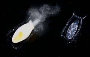 Siphonophores : Male and female gonozoids of a calycophoran siphonophore