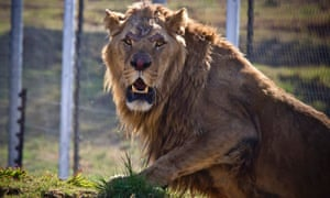 Lion stands in its new enclosure at Lion's Rock Big Cat Sanctuary near Bethlehem in South Africa.