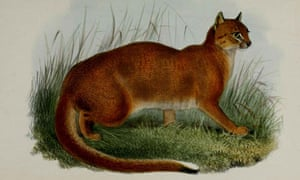 The Borneo Bay cat, discovered by Alfred Russel Wallace