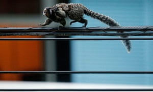 week in wildlife: A black-tufted marmoset