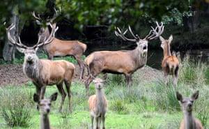 week in wildlife: red deer Gustav roaring